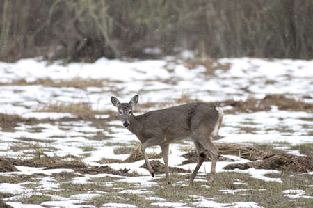 A small deer looks at the camera and looks ready to bolt.