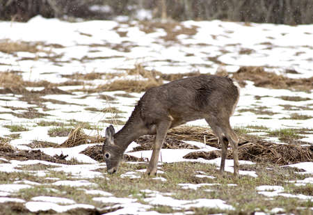 A small deer grazes around in a partly snow covered field. Stock Photo - 9056530