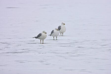 Three seagulls gathered together on a frozen lake. photo
