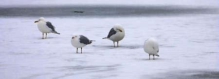 A panorama of seagulls on a frozen lake. photo