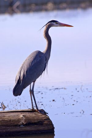 A beautiful great blue heron stands motionless on a log by the lake. Stock Photo