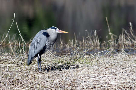 Great blue heron stands on a grassy piece of land by the water. Stock Photo - 9344132