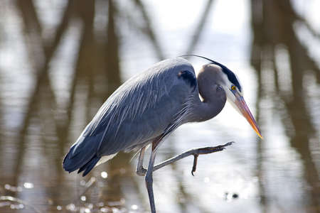 A great blue heron by the water with its leg partly lifted up. photo