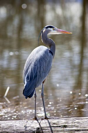 Great blue heron is standing tall on a log by the lake.