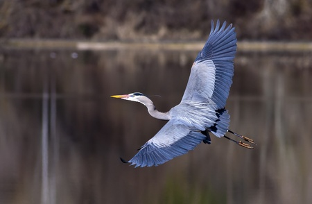 A blue heron spreads its wings wide while flying low to the ground.