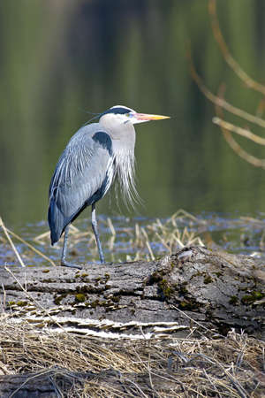 Great blue heron stands like a statue on a log by the still water. Stock Photo - 9344134