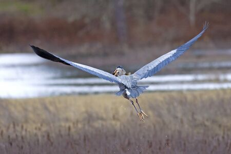 A heron flies off in a wetland area holding a crappie in its mouth after catching it. photo