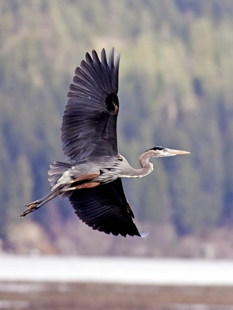 A great blue heron banks to the left while in flight. photo