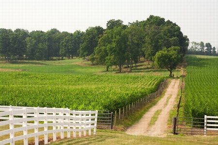 A small dirt road leads back from through the corn field to the trees in the background. Stock Photo - 10120189