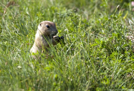 A prairie dog feeds on blades of grass on a sunny day. photo