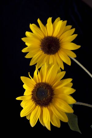 A couple of bright yellow sunflowers against a black background. Stock fotó
