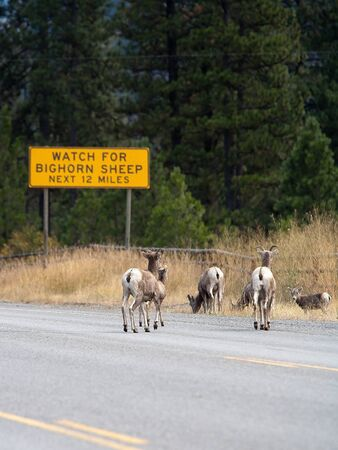 sheep road sign: A bighorn sheep warning sign along the road with actual bighorn sheep crossing. Stock Photo