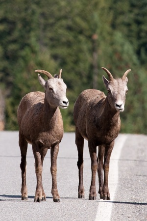 ewes: Two bighorn ewes on the side of the road Stock Photo