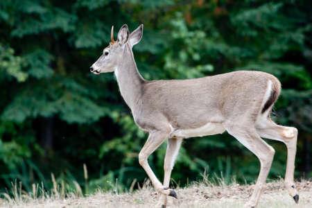 white tail: Una vista laterale di un cervo coda bianca vicino agli alberi. Archivio Fotografico