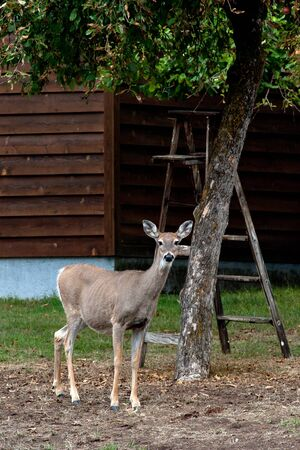 white tail deer: A white tail deer wonders in someones yard.