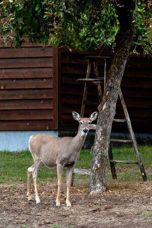 white tail: Un cervo coda bianca si chiede in cantiere someones.