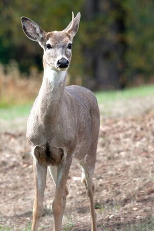 A close up of a deer with one antler. photo