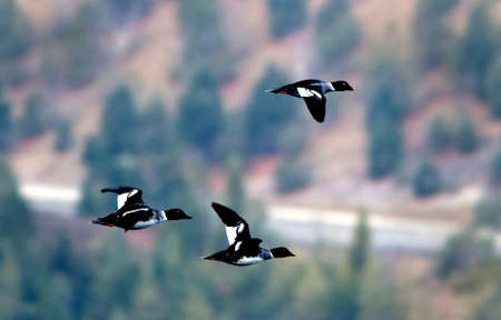 Three flying goldeneye.
