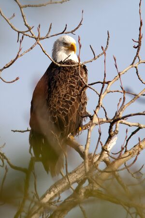 Majestic profile of a bald eagle. photo