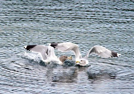 Gulls snipping at each other. Stock Photo - 11827389