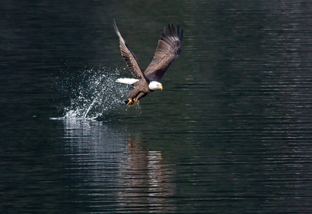 Eagle catches fish then flies off.  Stock Photo