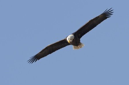 Eagle flies high in the sky.  photo