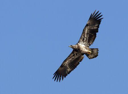 Junior bald eagle soaring.