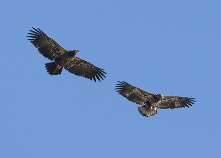 Two immatures flying together. photo