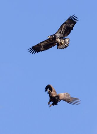 Two immature eagles in what looks like aerial combat. photo