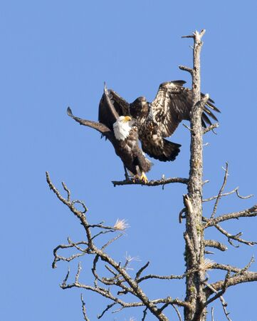 Junior eagle scares off eagle. photo
