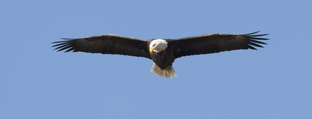 Adult bald eagle soars up high against the blue sky.