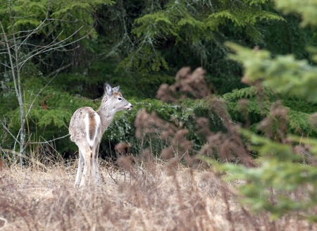 A white tailed deer grazes in a field by the trees. Stock Photo - 12436707