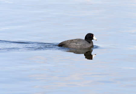 coot: Black American coot swimming in the calm water of Hauser Lake in Northern Idaho  Stock Photo