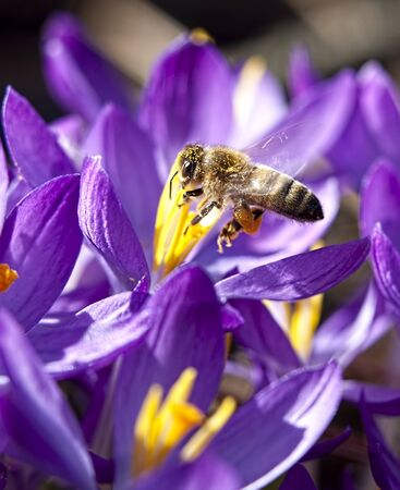 A small honey bee works around the crocus flowers gathering pollen  photo