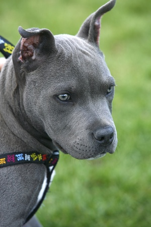 Portrait of a pit bull pup. photo