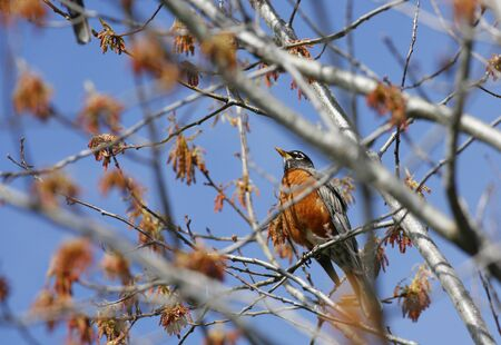 Robin perched against blue sky. Imagens