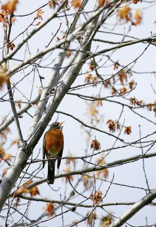 Robin perched in tree.