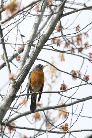 Perched robin. Imagens