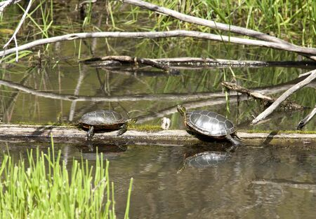 sunning: Two turtles facing each other while sunning on a log. Stock Photo