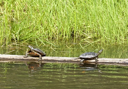 sunning: Two turtles on a log sunning themselves on Fernan Lake