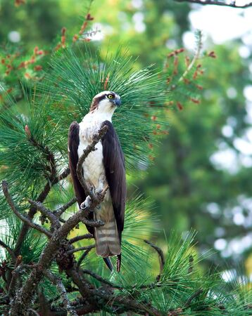 An osprey is perched on a small branch in a pine tree