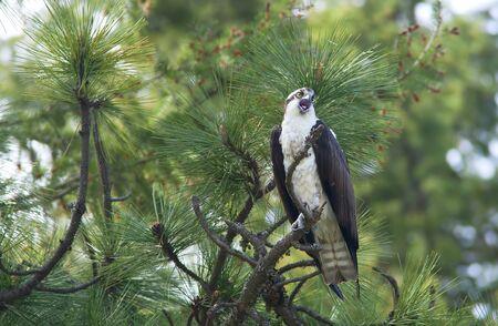 osprey: Osprey perched in a tree