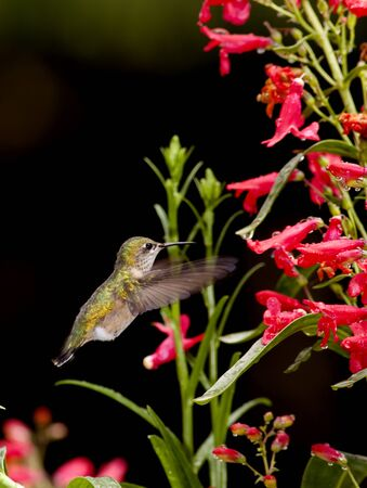 Hummingbird and the flowers  photo