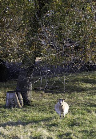 pygmy goat: Pygmy goat in grass
