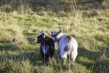 pygmy goat: Baby pygmy goats  Stock Photo