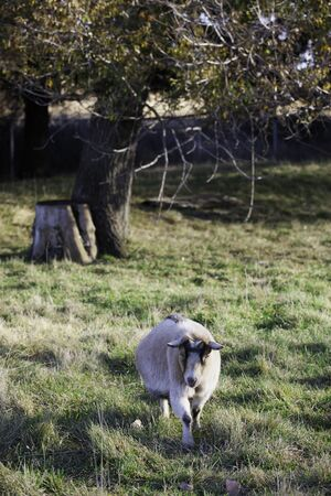 pygmy goat: Pygmy goat stands in the grass