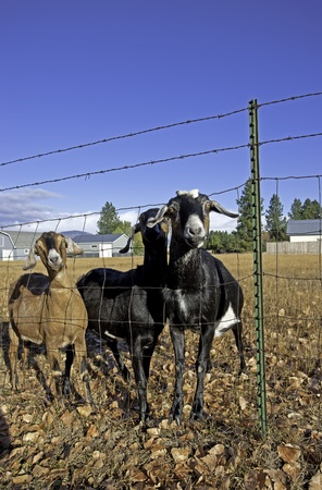 Three nubian goats by the fence  Stock Photo