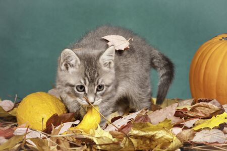 Kitty plays in leaves  photo