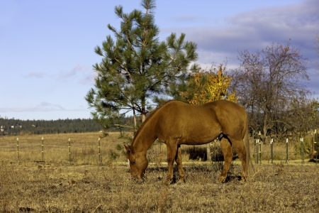 A beautiful chestnut horse grazes on a bright day Stock Photo - 15983132