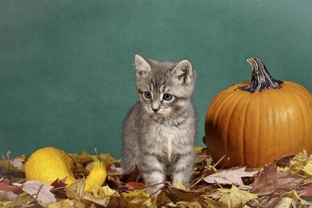 Little kitten by a pumpkin